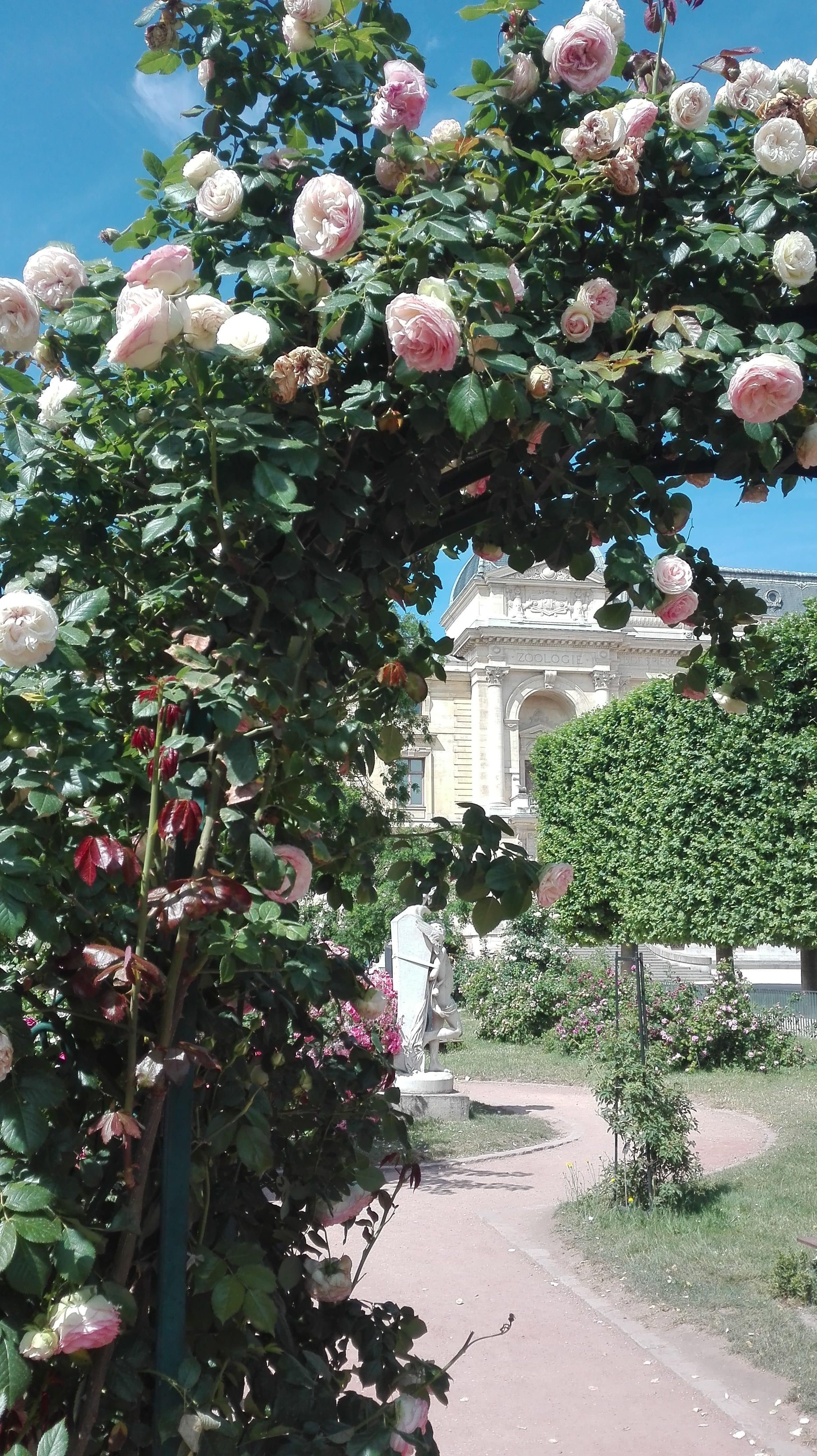 roseraie du jardin des Plantes